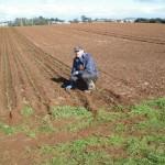 Planting Pyrethrum in Tasmania Australia 2010