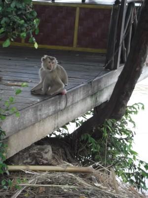monkey on Don Det
