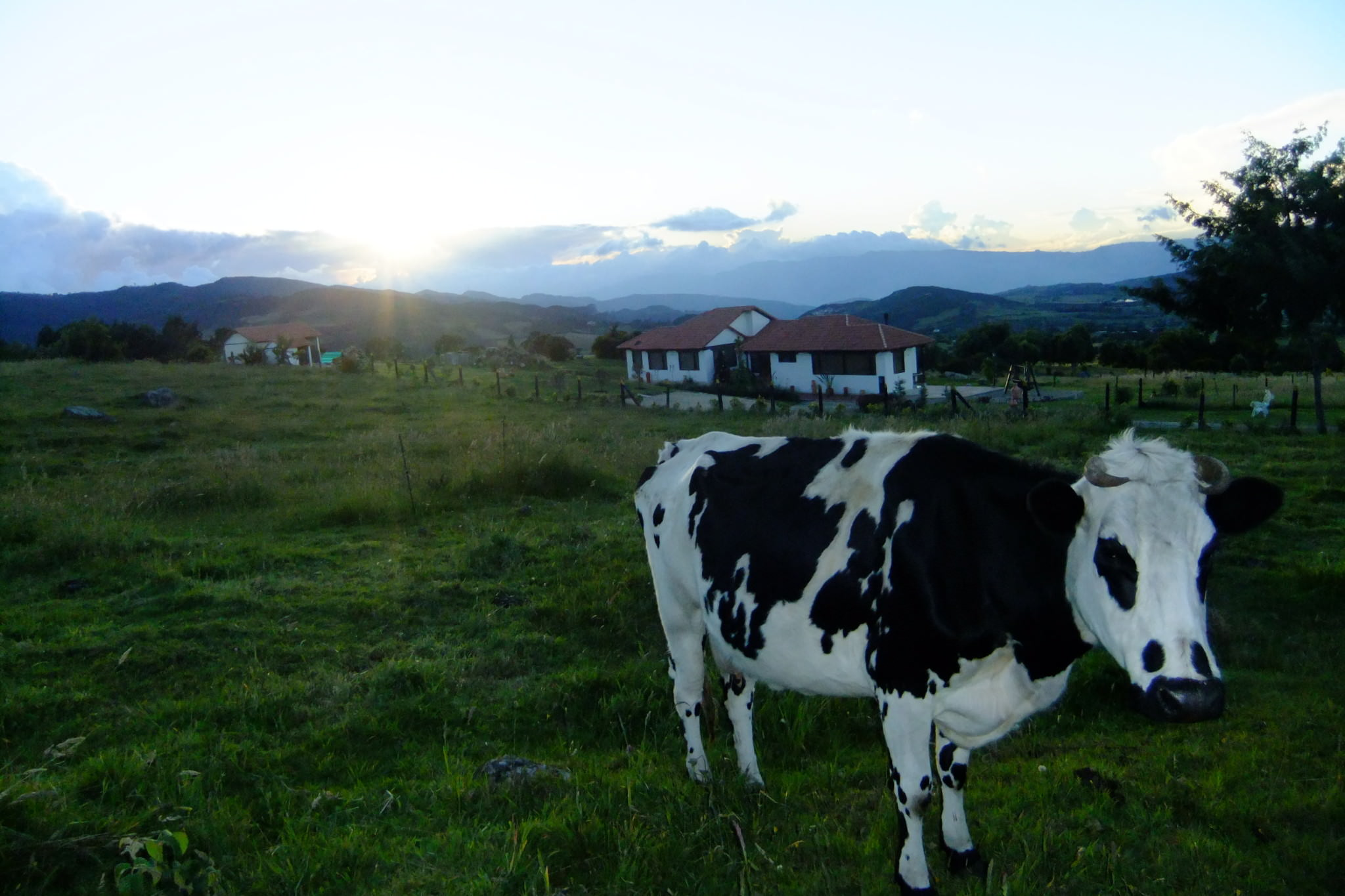 swapped his camera for a cow