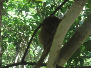 Tarsier up close in Bohol Philippines