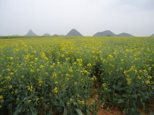 Yellow Fields in Luoping China Yunnan