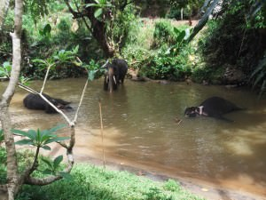 Elephant bathing in Pinnewala