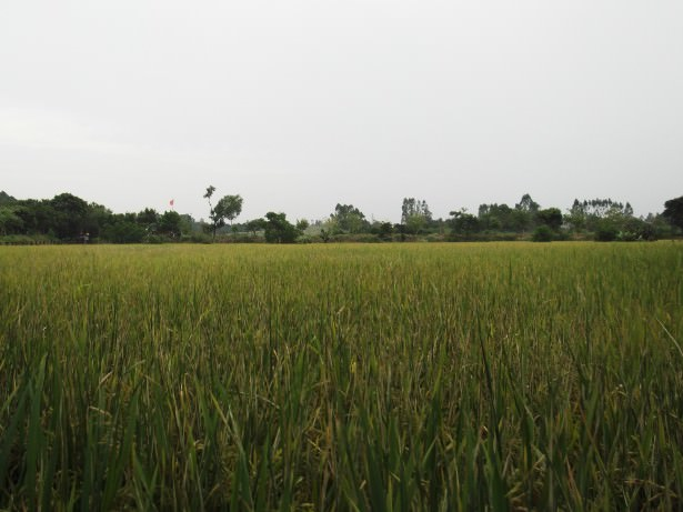 Rice fields in Kaiping China