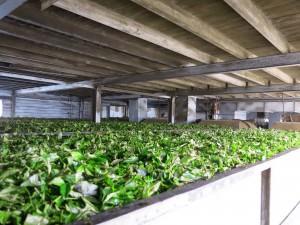 Dambatenne Tea Factory Sri Lanka