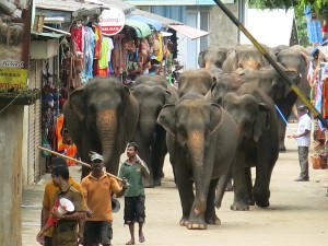 elephants parading along the streets in Pinnewala