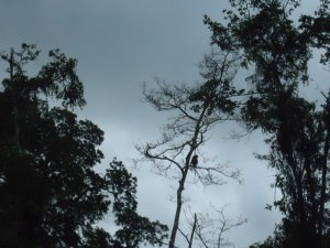 Proboscis monkeys in Sabah - Klias Wetlands Park