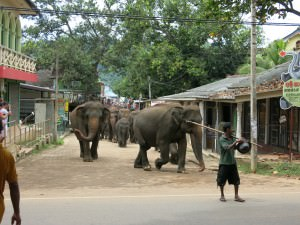 elephants march through the streets of Pinnewala