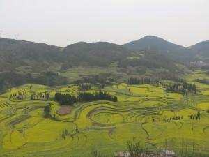 Yellow Canola Fields Luoping Yunnan China