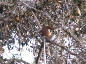Proboscis monkeys in trees in Borneo at Klias Wetlands Park