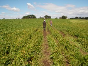 bean farming tasmania
