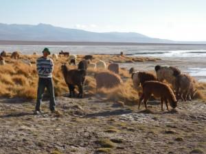 llamas in salar de uyuni bolivia