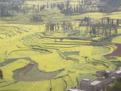 yellow canola fields yunnan