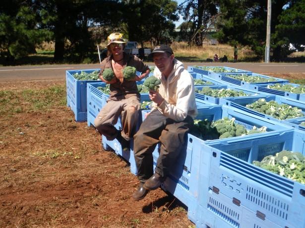 Broccoli farming in Tasmania: it was sheer bliss