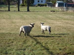 bruny island sheep