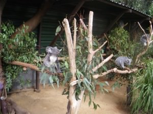 koala bears lone pine australia