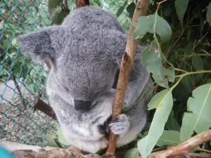 hugging a koala in lone pine