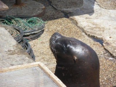 sea lions punta del este