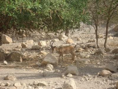 ibex in ein gedi israel
