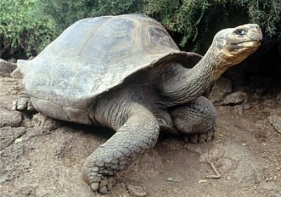A gigantic tortoise - dinosaur reminiscent on the Galapagos Islands.