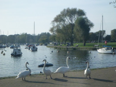Swans by the water in Christchurch.