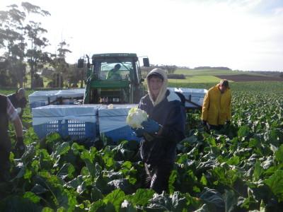 Working way too hard - cauliflower harvest in the winter time in Tasmania, 2010