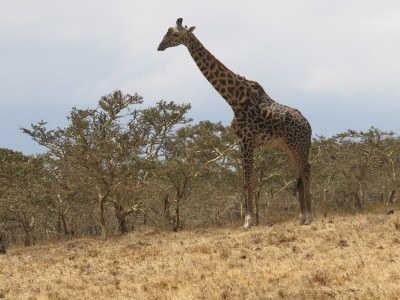First giraffe of the day on route to the Serengeti