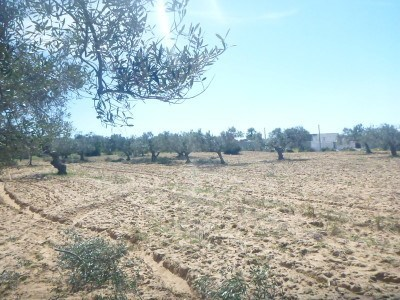 Olive fields of Teboulba