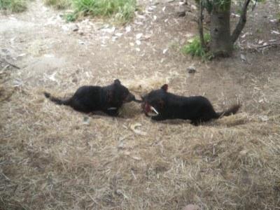 Tasmanian Devils have a tug of war