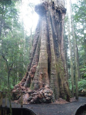 Massive tree at Dip Falls