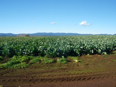 A cauliflower farm at Squeaking point