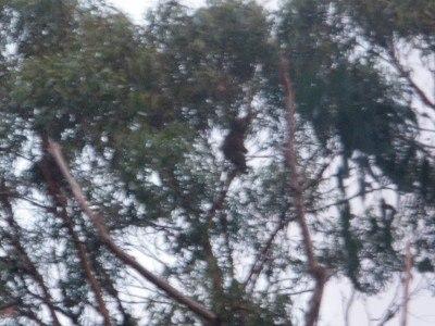 Koala bears at Grey River, Victoria