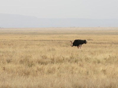 An ostrich in the Serengeti