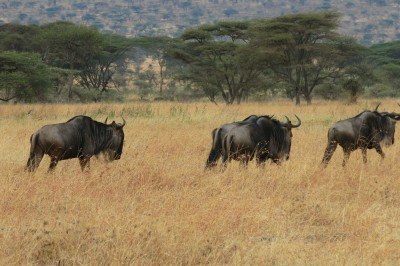 3 of a million wildebeests