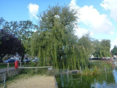 Weeping Willow trees on the England - Lagoan Isles border