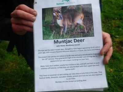 Muntjac deer are a smaller deer