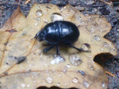 A beetle in the Forest of Dean
