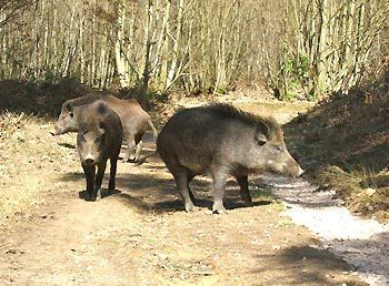 Wild Boar in the Forest of Dean, England