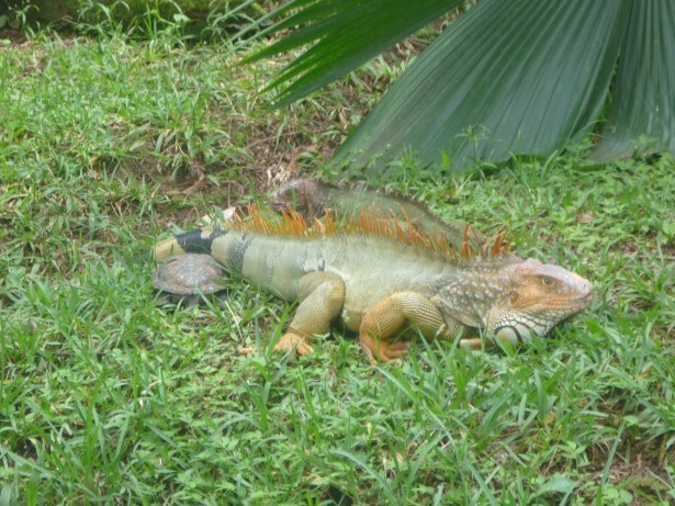 Iguana in Zoo Ave