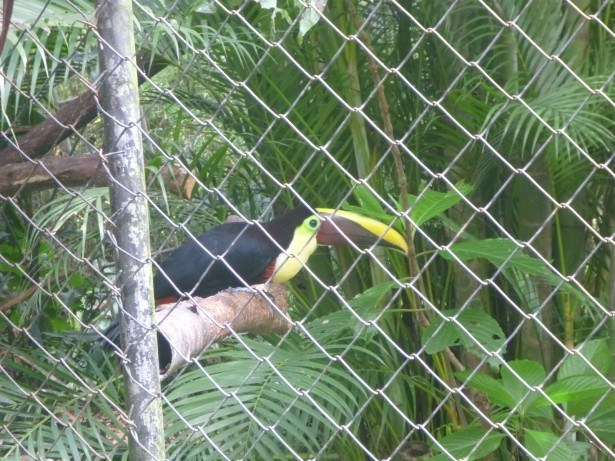 A toucan in Zoo Ave