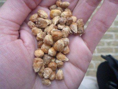 Dried salty corn in Balkh, Afghanistan