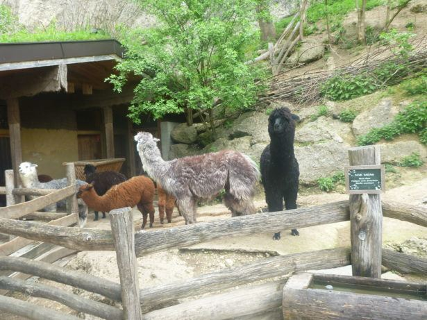Our crazy staring Alpaca at Salzburg Zoo. A never to be forgotten moment!
