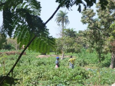Locals harvesting