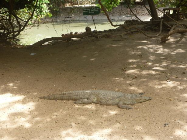 A crocodile at Kachikally