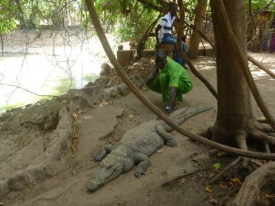 Zachariah Stroking Crocodiles at Kachikally Pool, Bakau, The Gambia