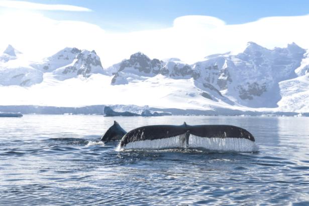 whale-antarctica-©Studio PONANT Clément Vial