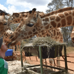Backpacking in Kenya: Kissing and Feeding Giraffes Near Nairobi