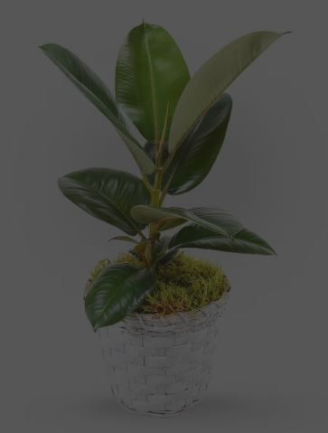 An Autumn Gift Amidst COVID-19: Ficus Robusta From Haute Florist